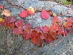 紅葉したツタの葉