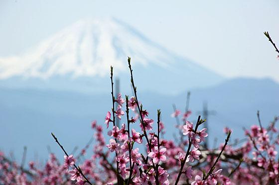 富士山と桃の花