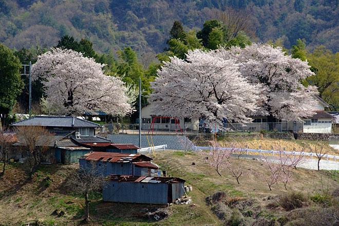 遠くに見える桜